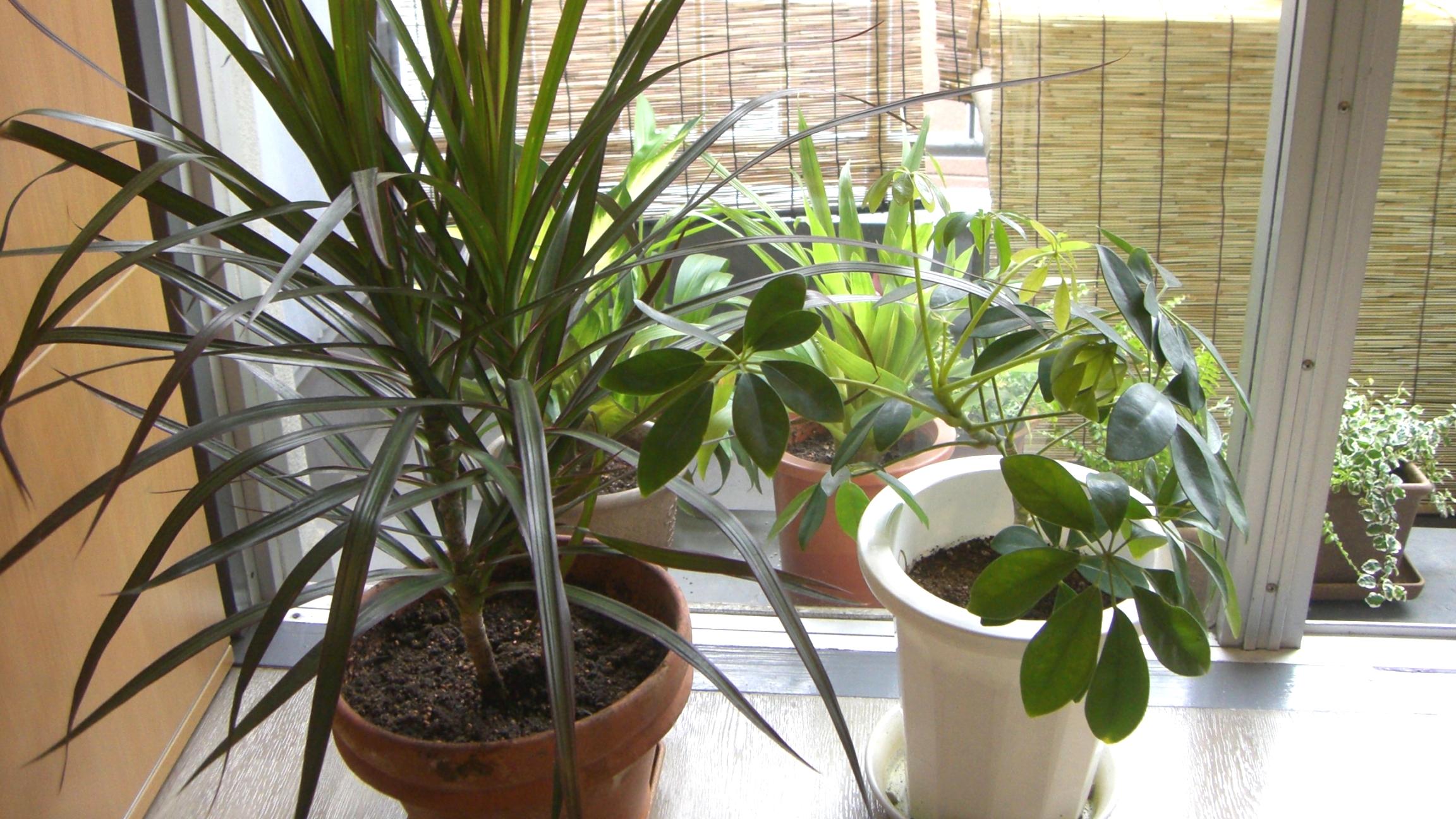 【風水】植物がグングン伸びる物件で風水的にも正解?観葉植物を植え替える♪